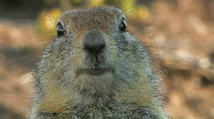 Portrait of a gopher. Stock Footage