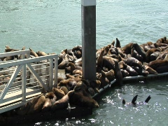 Tons of sea lions on a pier Stock Footage
