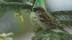 Sparrow Near Bird Feeder Stock Footage