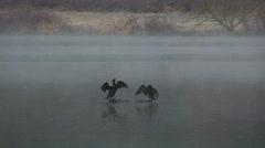 Cormorants dry wings. Stock Footage
