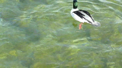 Couple of goosander ducks diving for food Stock Footage