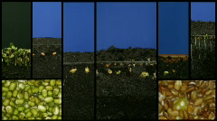 Montage of growing vegetables time-lapse 1 (720p) Stock Footage