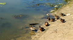 Ducks on the beach Stock Footage