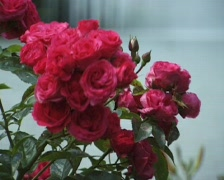 Flower in the garden (Close Up) Stock Footage