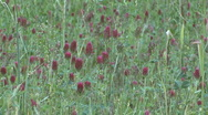 Red Clover Field Stock Footage