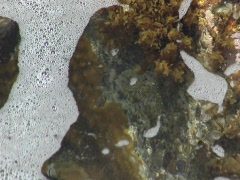 Sea creature on Antigua rocky shore Stock Footage