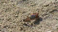 Fiddler Crab On The Sandy Beach Footage