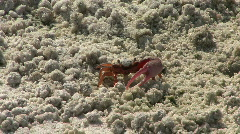 Fiddler Crab On The Sandy Beach Stock Footage