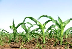 Young Corn Crops Stock Footage