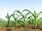 Stock Video Footage of Young Corn Crops