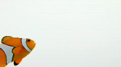 Clownfish, swimming in and out Stock Footage