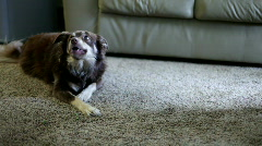 Dog chewing bone on carpet Stock Footage