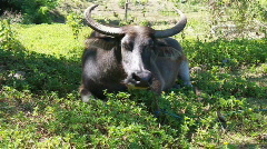 Water buffalo - cattle - stock footage