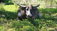 Stock Video Footage of Water buffalo - cattle