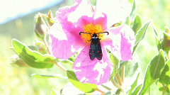 Bee against butterfly Zygaena Stock Footage
