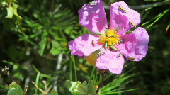 group of Cantharidae on flower - stock footage