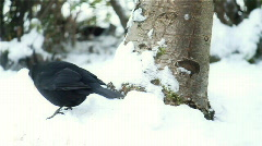 Blackbird Poops in the Snow - stock footage