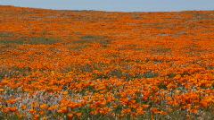 California Poppy Reserve Stock Footage
