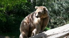 Brown bear Stock Footage
