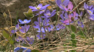 Stock Video Footage of Flowering Hepatica nobilis during spring in sweden