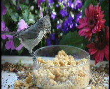 Bird gathers mealworms pal Stock Footage