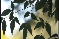 Graceful leaves ntsc Stock Footage
