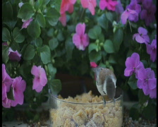 Chickadee eats mealworm with flower background pal Stock Footage