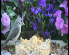 Tuftedtitmouse and chickadee at a feeder pal Stock Footage