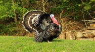 Thanksgiving turkey Stock Footage