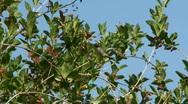 Anna's Hummingbird Stock Footage