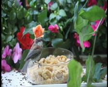 Chickadee calls to mate pal Stock Footage