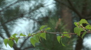 Stock Video Footage of Birch branch.