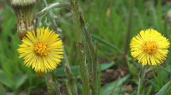 Coltsfoot. - stock footage