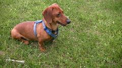 Alert miniature dachshund sitting and looking around Stock Footage