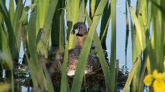 Pied-billed grebe at nest Stock Footage