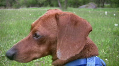 Closeup of alert miniature Dachshund looking around outside Stock Footage