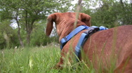 Miniature Dachshund lying down and alert Stock Footage