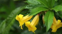 Yellow Bell (Allamanda) Stock Footage