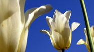 Stock Video Footage of White Tulips