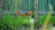 Beware of the dog!:) Stock Footage