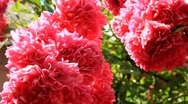 Red flowers Stock Footage