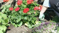 gardening in spring flowers - stock footage