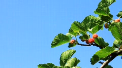 Mulberry Stock Footage