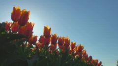 Tulips Stock Footage
