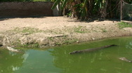 Stock Video Footage of Malawi: crocodiles swim in a water 1