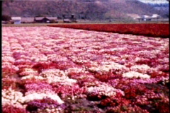 1950's field of flowers pan 1950's 8mm footage - stock footage
