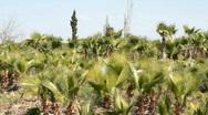 Date palm tree plantation Stock Footage