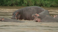 Stock Video Footage of Malawi: hippopotamus in the wild 11