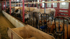 Barn full of cows eating Stock Footage