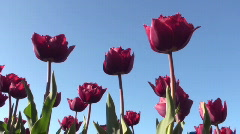 Stock Video Footage of Tulips